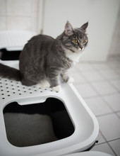 Blue Tabby Maine Coon Kitten S...
