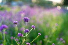 Verbena Purple Flowers On Beau...