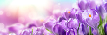 Blooming Cluster Of Purple Crocuses With Sunlight - Springtime Background Banner