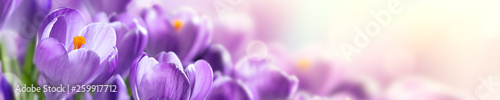 Foto op Plexiglas Krokussen Blooming Cluster Of Purple Crocuses With Sunlight - Springtime Web Header Background Banner