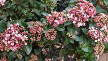 Laurustinus (Viburnum Tinus), Flowering