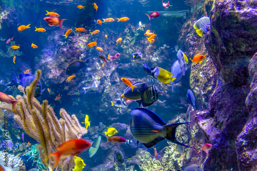 Fotografie, Obraz  colorful reef fishes