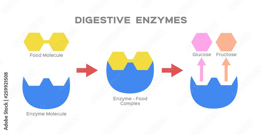 Fototapeta digestive enzyme vector