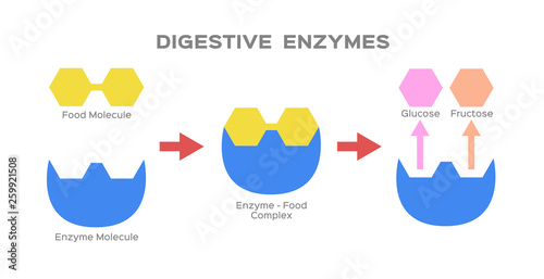 Photo digestive enzyme vector