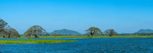 Water Trees And Hyacinths, Sri Lanka