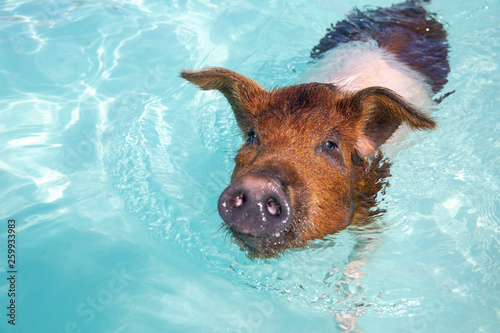 Spoed Foto op Canvas Hond Swimming Pigs in the Water at Pic Beach, Exuma Bahamas (Black Point)