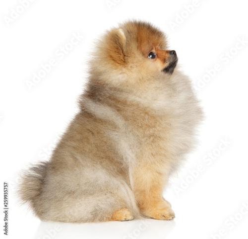 Pomeranian spitz Canvas-taulu
