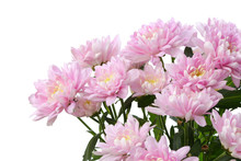 Pink Chrysanthemum; Asters  Flower. Nature Background.