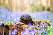 Red Foot Tortoise In Blubells