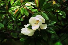 Big White Flowers Of Magnolia Grandiflora. Southern Magnolia (or Bull Bay) In Bloom.
