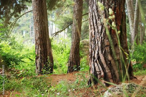 Pine forest Wallpaper Mural