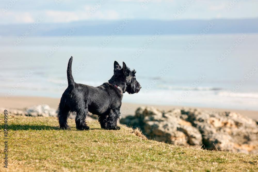 Fototapeta Scottish Dog Looking over Cliff