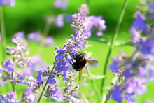 Bumblebee Collecting Flower Po...