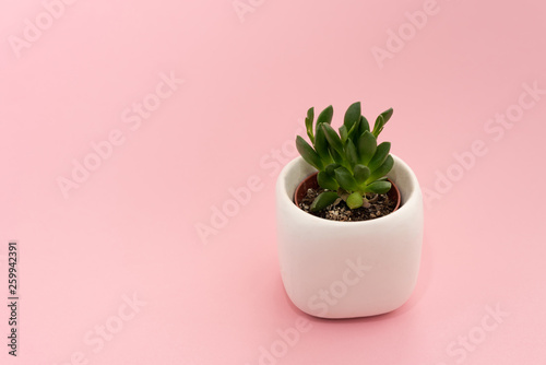 Poster Vegetal Little succulent plant in a white pot on a pink background. Design concept. Copy space mockup