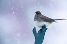 Dark Eyed Junco Bird Perched. ...