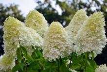 Luxurious Hydrangea Paniculata...