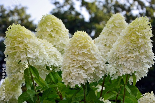 Luxurious hydrangea paniculata in the garden close-up. Tableau sur Toile