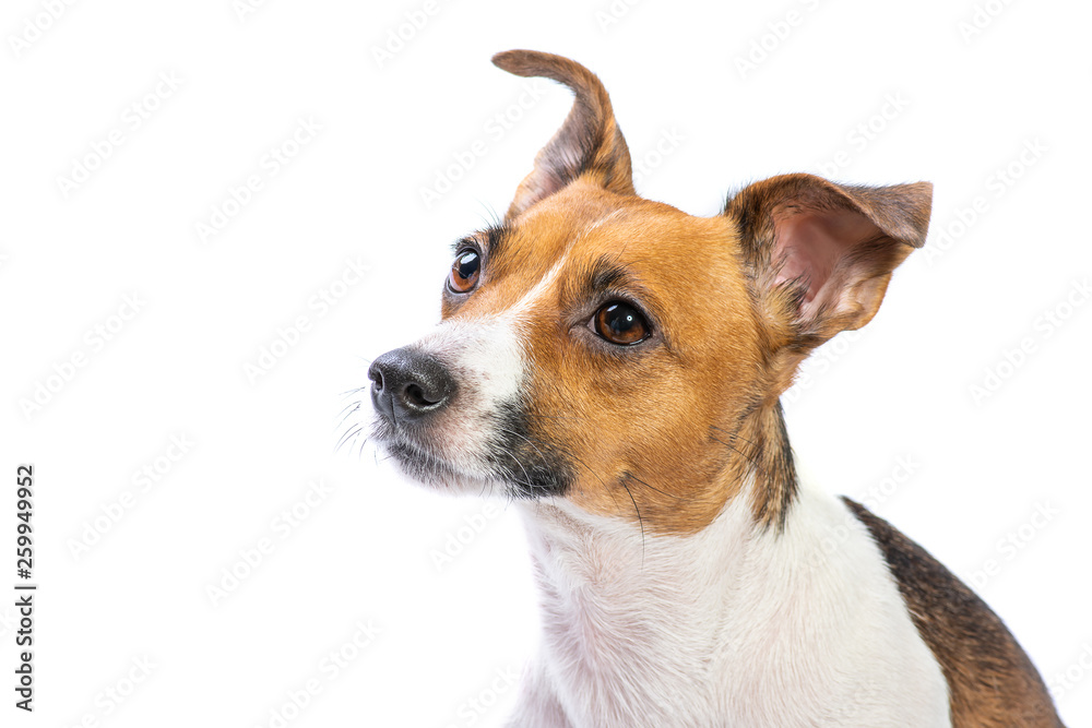 Fototapety, obrazy: Closeup Portrait Jack Russell Terrier, standing in front, isolated white background