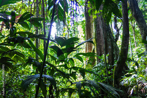 Valokuva  Amazon forest in the Madidi National Park, Bolivia