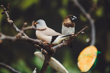 Two Beautiful Birds Amadins Are Sitting On The Green Leaves Of A Tree Branch. Close-up