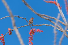 House Finch On An Ocotillo In ...