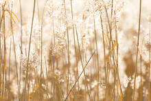 Closeup Of Sunny Backlit Reed ...