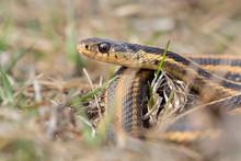 Common Garter Snake (Thamnophis Sirtalis) Portrait, Iowa, USA.