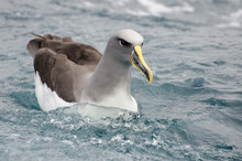 Grey-headed Mollymawk, A Species Of Albatross, Swimming In The Sea At The Chatham Islands, New Zealand.