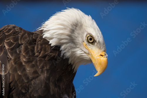 Deurstickers Eagle Bald Eagle head shot with bright blue sky background