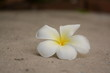 Flower Plumeria with green leaves on blurred background. White flowers with yellow at center
