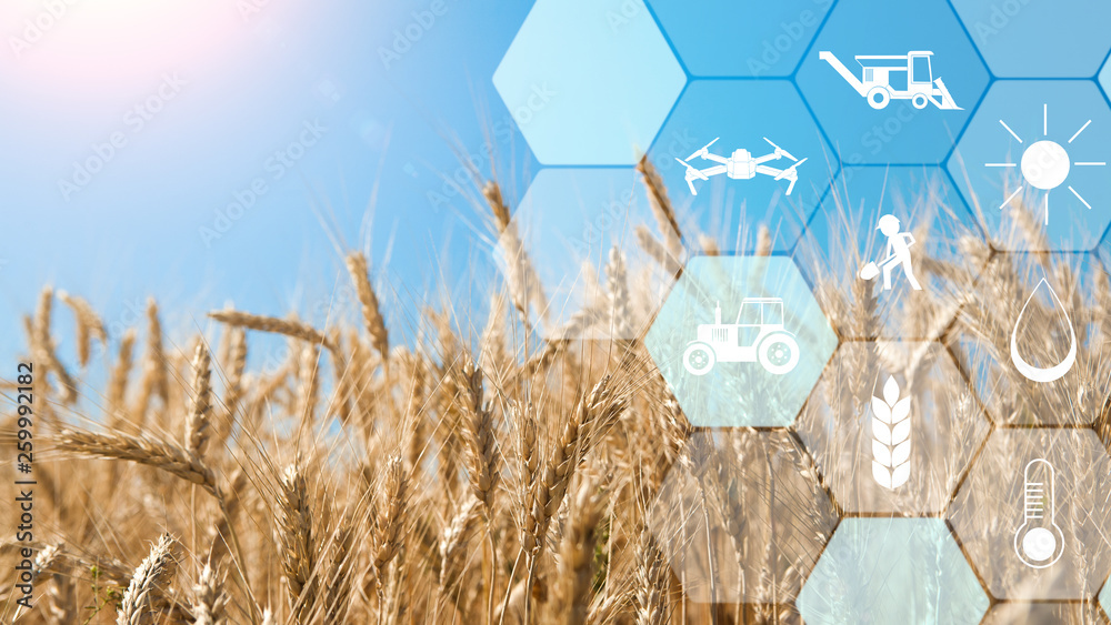 Fototapeta Precision agriculture network icons on wheat field background