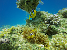 A Pair Of Clown Fish In Anemone