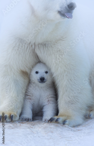 Spoed Fotobehang Ijsbeer Polar Bear Mother and Cub portrait.