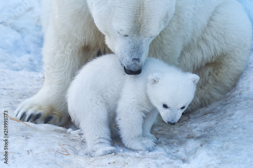 Photo Stands Polar bear Polar Bear Mother and Cub portrait.