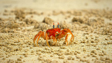 Ghost Crab On Beach At Isla San Cristobal In The Galapagos