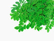 moringa leaves with branch