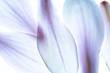 canvas print picture - Lila Magnolien