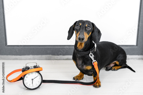 Black and tan dog breed dachshund sit at the door with a leash and alarm clock, cute small muzzle look at his owner and wait for a walk Fototapete