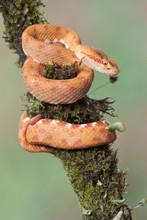 Eyelash Pitviper (Bothriechis Schlegelii)
