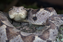 Jumping Pitviper (Atropoides Mexicanus)
