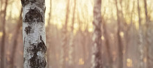 Close View Of Birch Trunk. Nat...