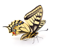 Old World Swallowtail (Papilio...
