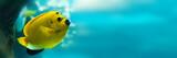 Threespot angelfish (Apolemichthys trimaculatus), panoramic water background
