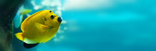 Threespot Angelfish (Apolemich...