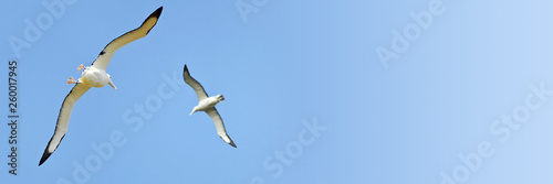 Fotografía Couple of albatrosses in the sky, New Zealand, blue panoramic background