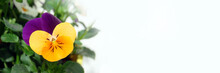 Yellow And Purple Pansy Flower On White Panoramic Background