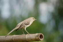Northern Mockingbird Sitting O...