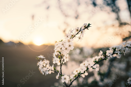 Fotografie, Obraz  Beautiful plum blossom during a sunset