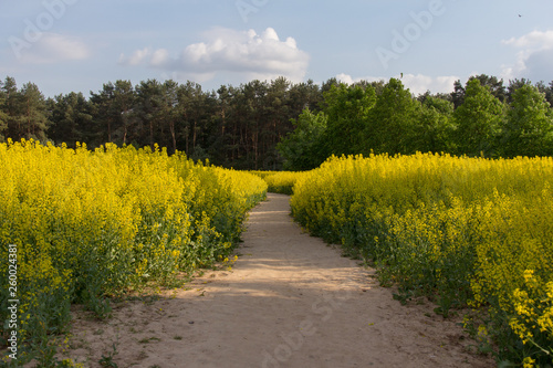 Romantic road to the forest through the field of flowering aromatic rape #260024381