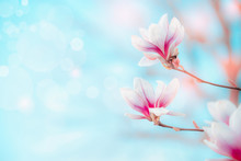 Spring Nature Background With Pretty Magnolia Blooming At Blue Sky With Bokeh. Springtime Outdoor Concept. Magnolia Tree Blossom